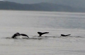 Customer Picture: Whales diving in the waters off Juneau