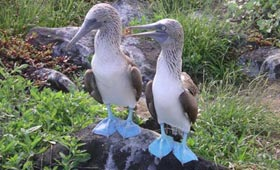 Blue Footed Boobies in Galapagos