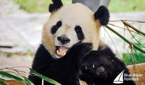 Visit the giant pandas during a Yangtze cruise
