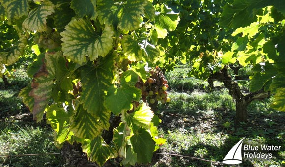 Discover the vineyards at Chateau Simon