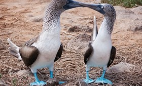Blue-footed Boobies, Galapagos Islands