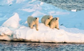 See polar bears in their natural habitat