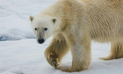 Polar bear. Photo credit: David Merron