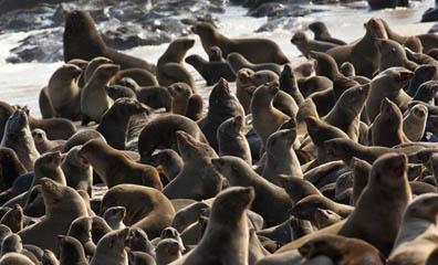 Cape fur seal colony, Namibia